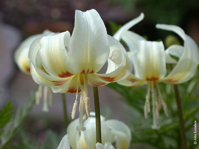 Erythronium White Beauty