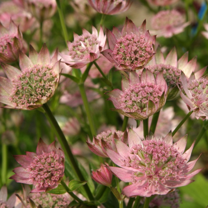 Astrantia major Pink Pride