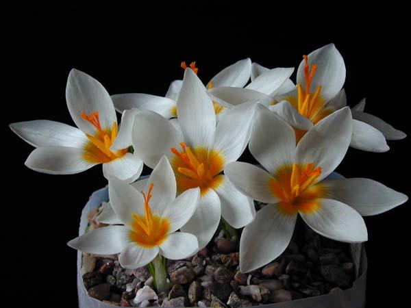 Crocus sieberi Bowles White