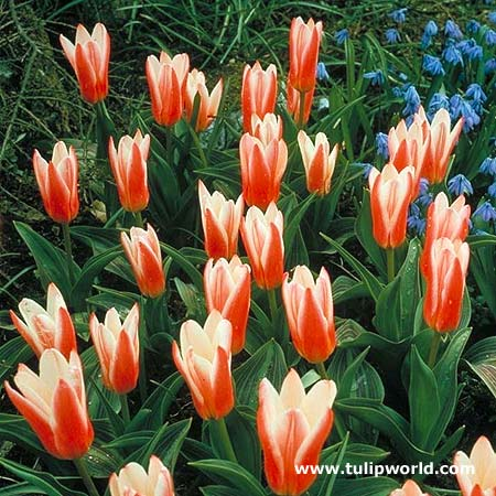 Tulipan Hearts Delight