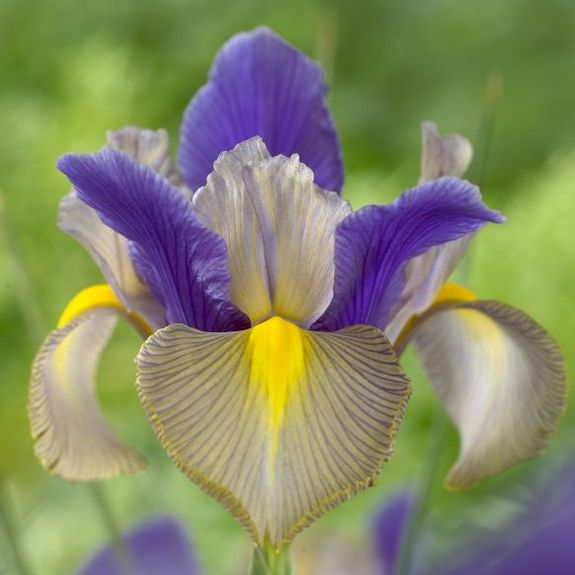 Iris hollandica Gipsy Beauty