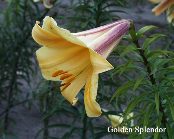 Lilija Golden Splendour