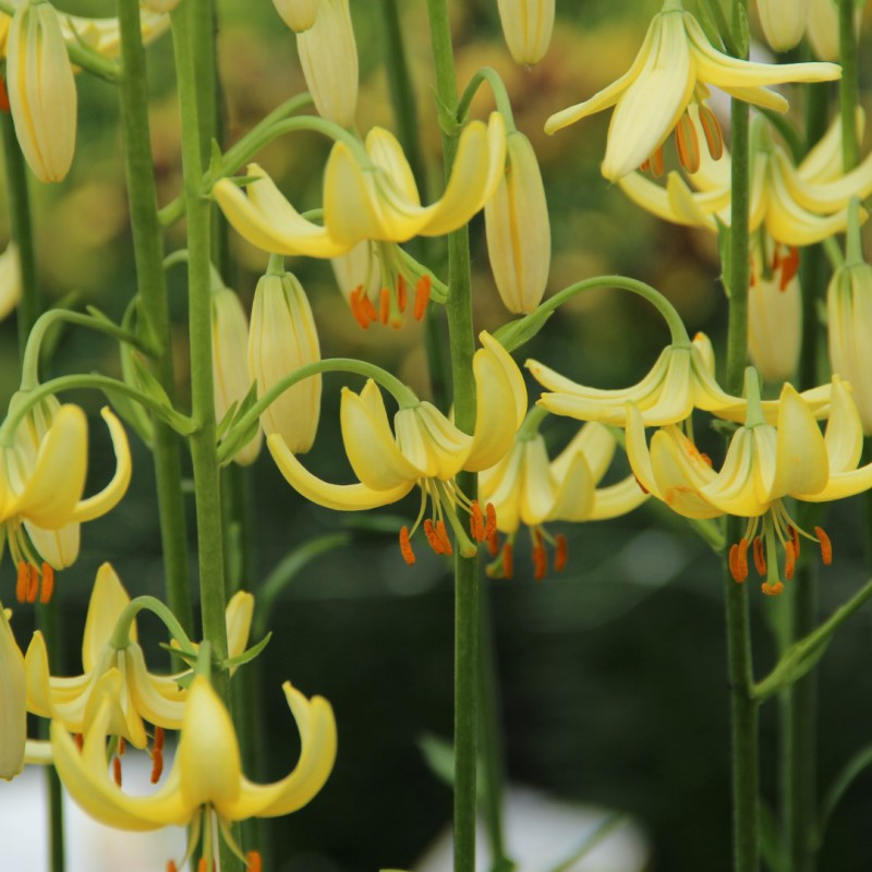 Lilium martagon Golden Morning