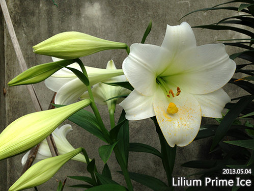 Lilija White Heaven