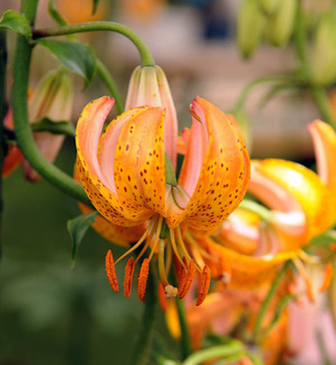 Lilium martagon Terrace City