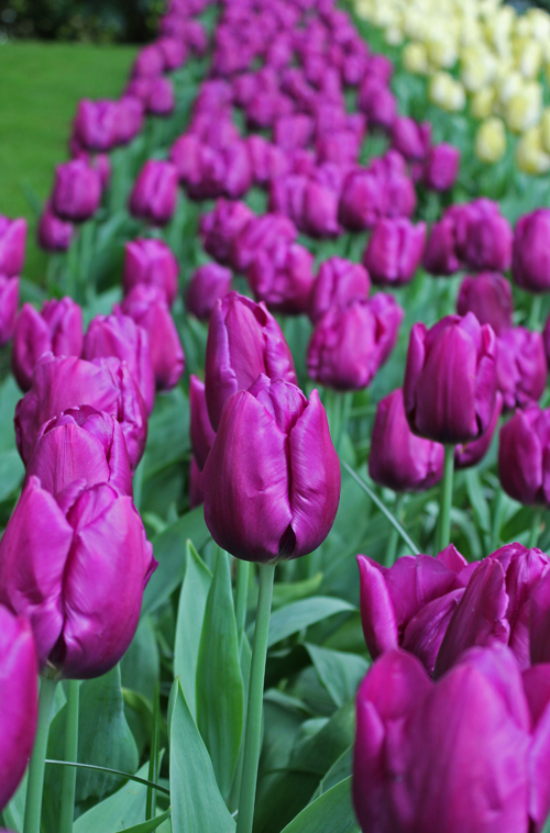 Tulipan Purple Prince