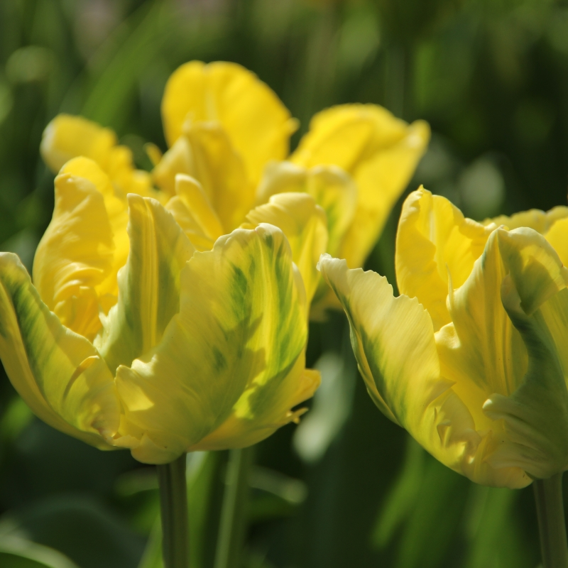 Tulipan Yellow Madonna