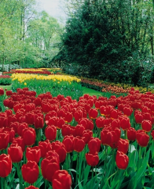 Tulipan Red Impression