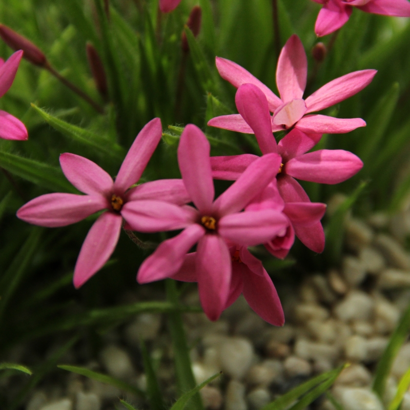 Rhodoxis Ruby Giant