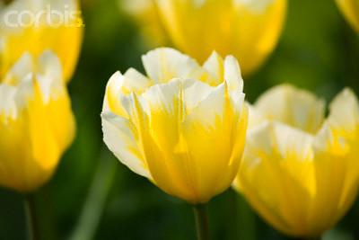 Tulipan Sweet Heart