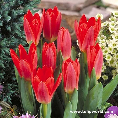 Tulipan Scarlet Baby
