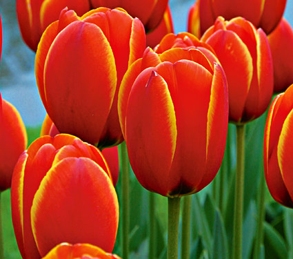 Tulipan Worlds Favourite