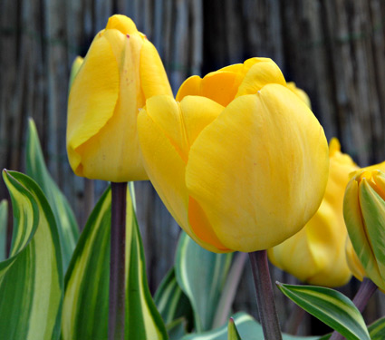 Tulipan Yellow Wave