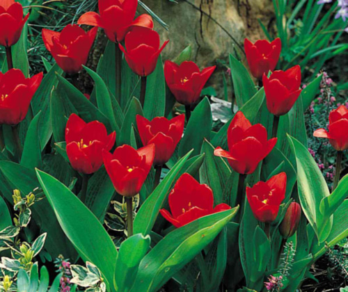 Tulipan Red Night