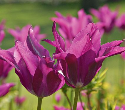 Tulipan Purple Dream
