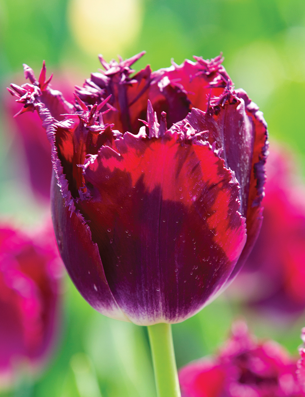 Tulipan Purple Crystal