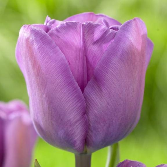 Tulipan Magic Lavender