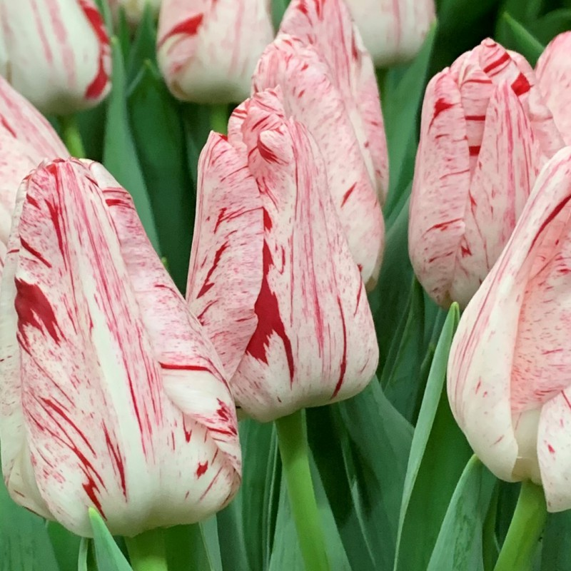 Tulipan Merel Delight