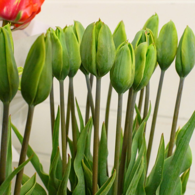 Tulipan Green King