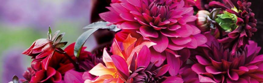 dalije za rezano cvetje